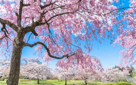 imagenes de sakura japon sakura et hanami la fleur de cerisier japonais fugujapon