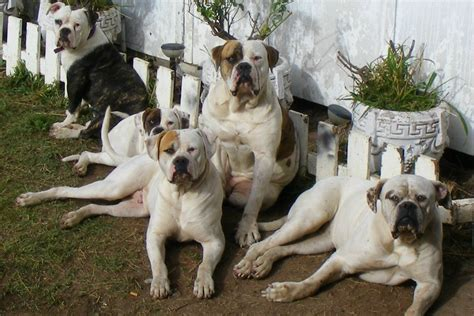 bulldog puppies ta american bulldog weight pulling breeds picture