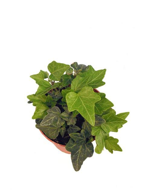 Hedera Helix Zimmerpflanze by Efeu Pflanzenklick
