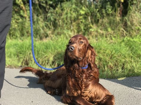 setter dog training tag 187 irish red setter archives blogblog
