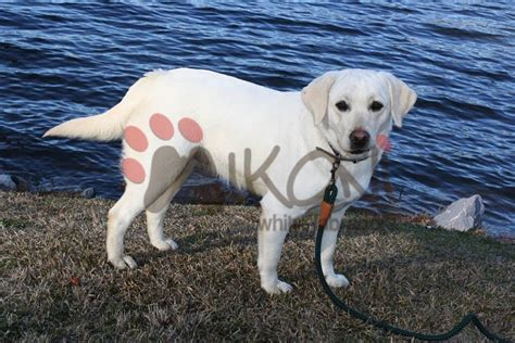 lab puppies for sale in charleston sc labradors south carolina breeds picture
