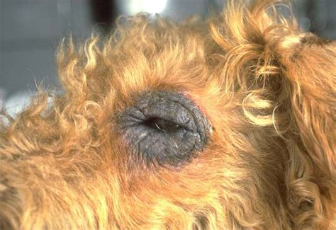 ichthyosis dogs ichthyosis in dogs www imgarcade image arcade