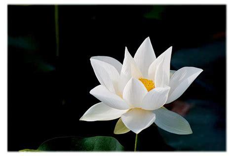 fiore di loto bianco foto fiore di loto bianco