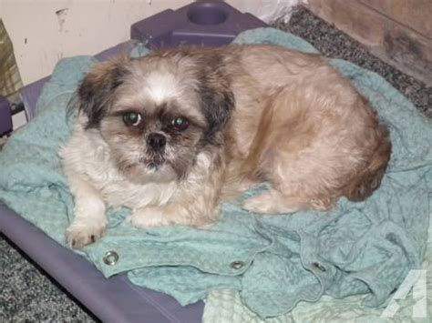 petsmart dog houses for sale shih tzu noodles petsmart small young male dog for sale in atkinsonville