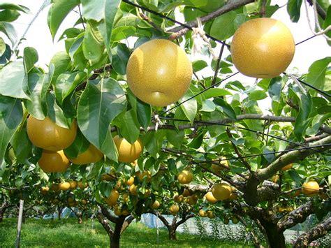 fertilizing fruit trees fertilizing pear trees things about trees