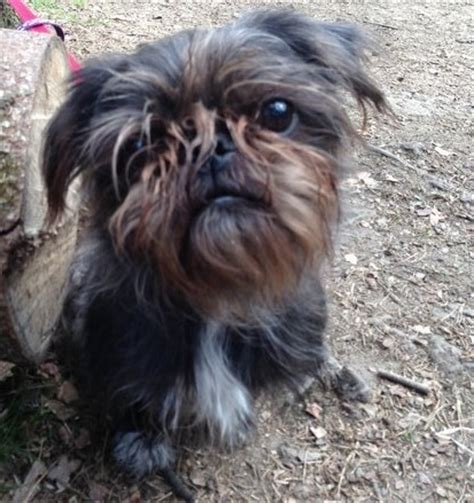 pug shih tzu mix pug and shih tzu pug zu all things pugtzu shih tzu pug and pug zu