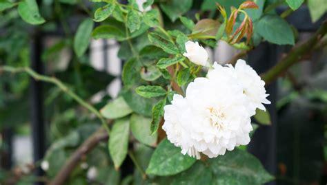 growing gardenias indoors