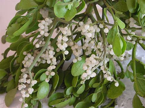 buy bulk mistletoe sprigs wholesale prices only 14 99 lb