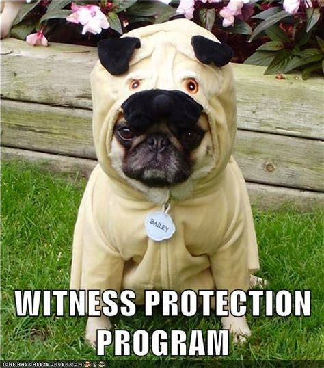 pugs meme meme pug costume meme photo 33904381 fanpop