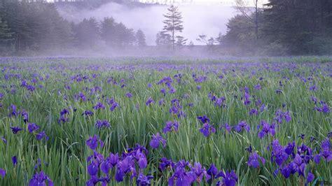 photos wallpaper wallpaper iris meadow in the mist near hiroshima