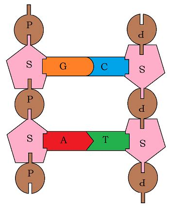 Dna Model Template by Paper Dna Template Gallery Template Design Ideas