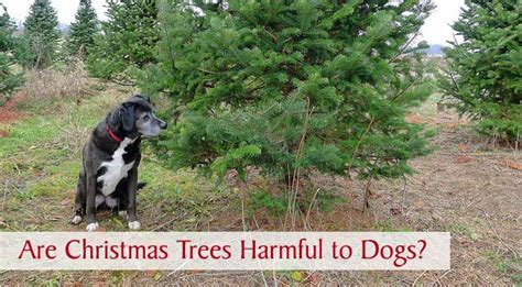 are christmas trees harmful to dogs chasing dog tales