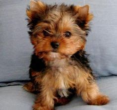 yorkie for cheap price cheap teacup yorkie puppies for sale dogs teacup yorkie yorkie and