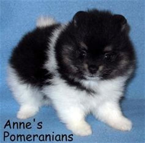 annes pomeranians maltese pomeranian mix puppies for sale zoe fans baby animals