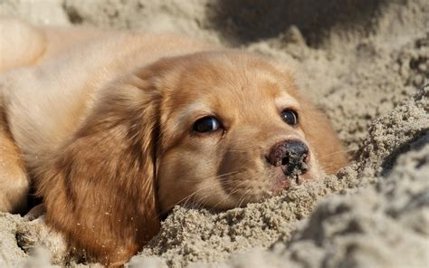 wallpaper golden retriever golden retriever puppy wallpaper background 60774 2560x1600 px hdwallsource
