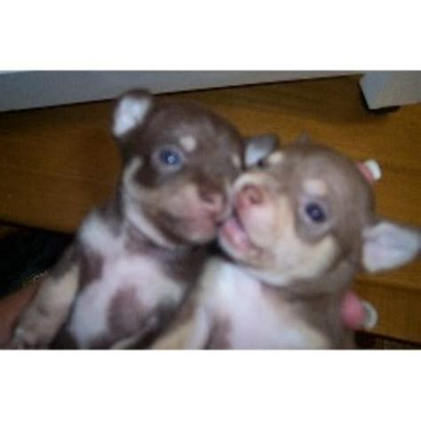chihuahua puppies for sale in alabama chihuahua breeders in alabama freedoglistings