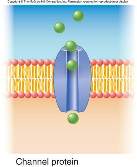 4 proteins in cell membrane 4 3 the plasma membrane