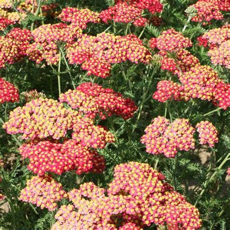 Garden Yarrow Onlineplantcenter 1 Gal Paprika Common Yarrow Plant