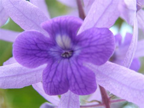 climbing plant with purple flowers climbing vines with purple flowers image search results