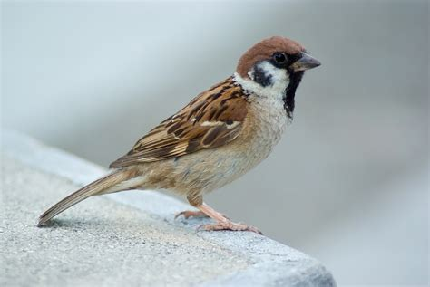 file tree sparrow august 2007 osaka japan jpg wikimedia