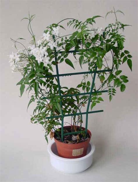 climbing vines indoors tips for growing common indoor jasminum polyanthum jasmine our house plants
