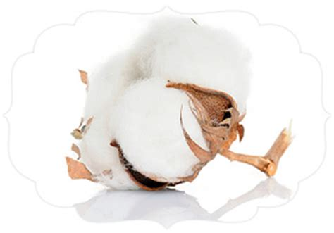 Cotton Plant Clip At Clker organic cotton boll free images at clker vector