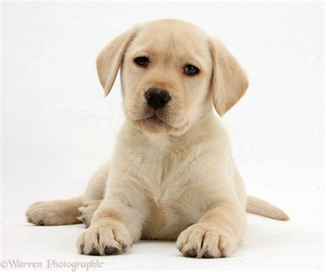 golden lab puppies 2017 charming labrador puppies missouri for sale