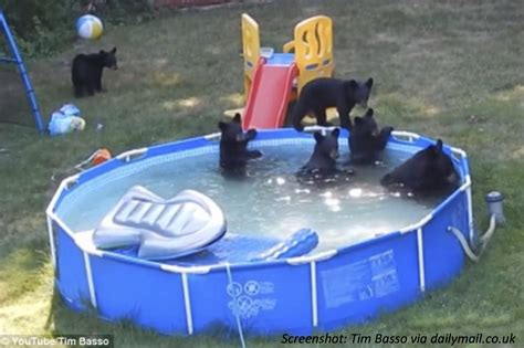 pools for your backyard when bears find your backyard pool bedtime math daily math