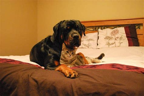 rottweiler and cats 42 best images about rottweiler with other animals on each other