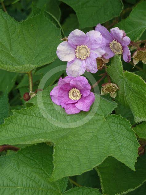 flowering raspberry shrub rubus odoratus flowering raspberry thimble berry