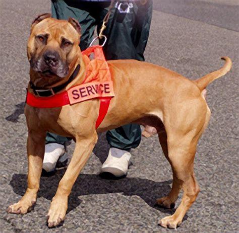 pitbull service colorado allows pit bull service dogs back into city pitbulls go pitbull