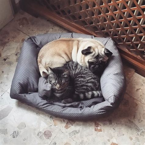 pug and cat 9 breeds that get along with cats barkpost