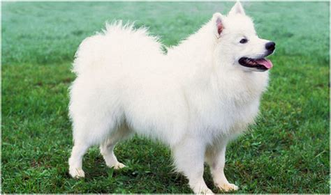 american eskimo puppies american eskimo breeders facts pictures puppies rescue temperament