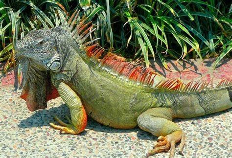 imagenes iguanas verdes que comen las iguanas donde viven como nacen
