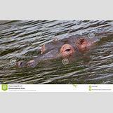 Hippopotamus Face In Water   1300 x 821 jpeg 211kB