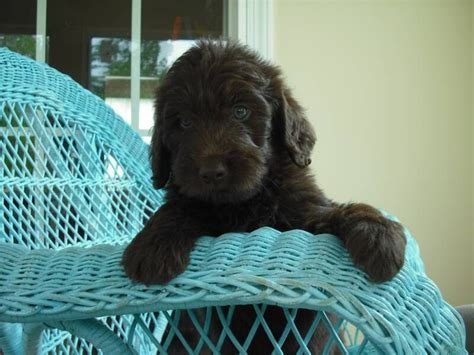 mini chocolate doodle beautiful mini chocolate labradoodle puppy labradoodle