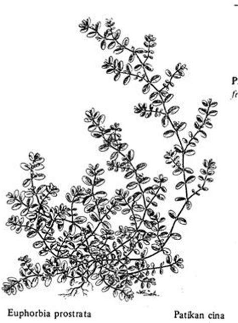 Obat Cacing Cina tumbuhan obat dan sains manfaat patikan cina dan patikan