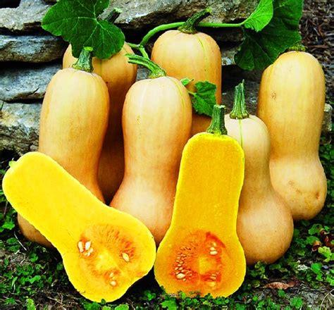 Biji Benih Labu Butternut Waltham Pumpkin jual benih labu madu butternut squash bibitbunga