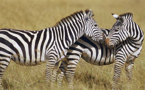 black zebra black and white zebra colors photo 34705011 fanpop