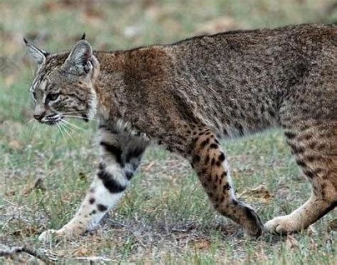 animal pictures picture 5 of 11 bobcat lynx rufus pictures images