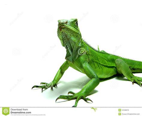 imagenes iguanas verdes iguana verde fotos de archivo imagen 10106973