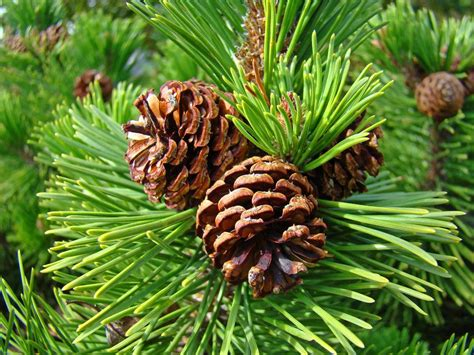 Pine Cone Tree | pine tree art prints pine cones green forest baslee