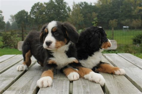 buy puppy bernese mountain puppy do you want to buy one puppies with children i