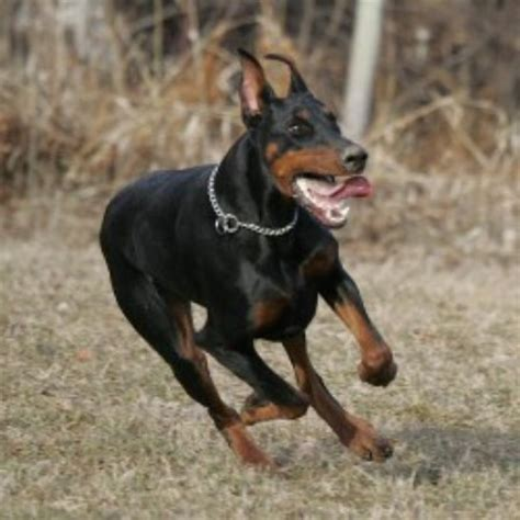doberman pinscher puppies for sale in ga doberman pinscher breeders and kennels freedoglistings page 6