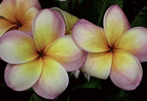fiore plumeria giardinaggio come coltivare la plumeria o frangipani