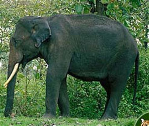 elephant biography in hindi indian elephant the animals biography