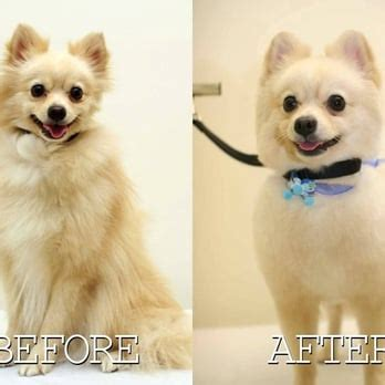 pomeranian getting groomed grooming salon 47 photos 29 reviews pet groomers 1111 dillingham blvd