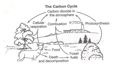 Nitrogen Cycle Worksheet by Carbon Cycle Coloring Worksheet Nitrogen Cycle Clip 50