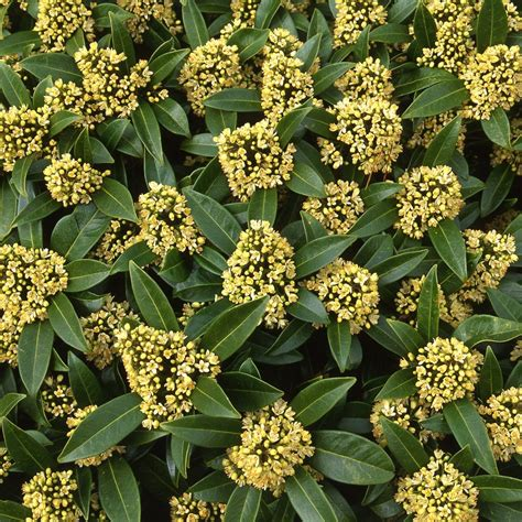 buy skimmia male skimmia confusa kew green