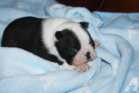 boston terrier puppies for sale in ms akc boston terrier puppies for sale in saucier mississippi breeds picture